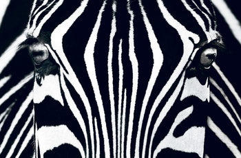 Zebra - Black & White Wall Mural