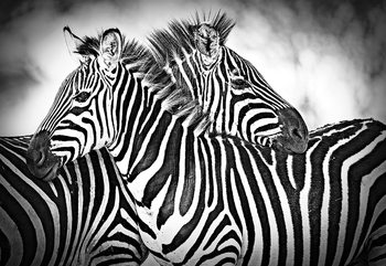 Zebras Black And White Wallpaper Mural