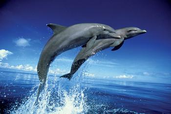 Dolphins - leap Affiche