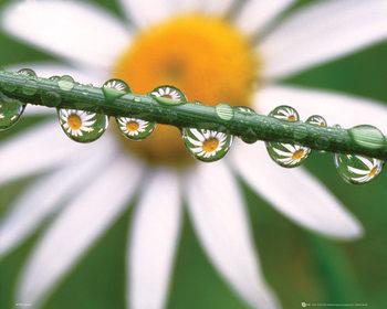 Fleurs - Marguerite Affiche