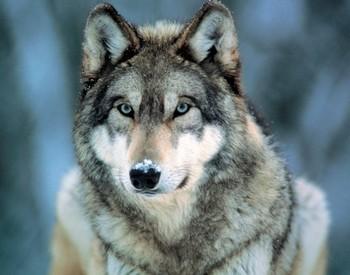 Grey wolf Affiche