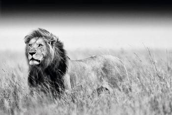 Lion - Black & White Poster