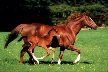 Mare & Foal - horses Affiche