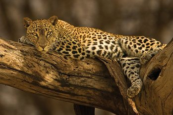 Juliste Leopard - tree