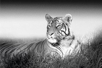 Juliste Tiger - B&W