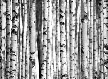 Metsä - Birches Kuvatapetti, Tapettijuliste