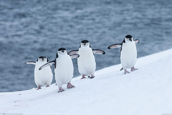 Poster Chinstrap Penguins