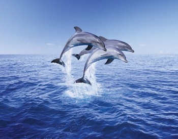 Dolphin trio Poster