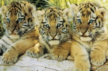 Tiger cubs Poster, Art Print