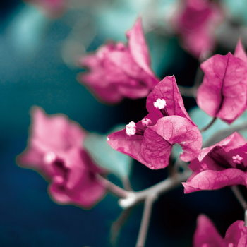 Quadro em vidro Pink Blossoms - Tree