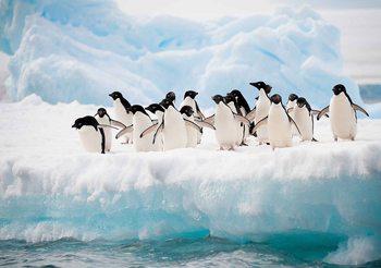 Pingouins Poster Mural