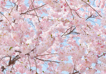 Pink Blossoms Wallpaper Mural