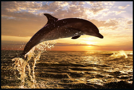 Dolphin Sunset - steve bloom Affiche