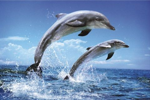 Dolphins - duo Affiche