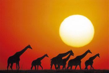 Giraffe sunset Affiche