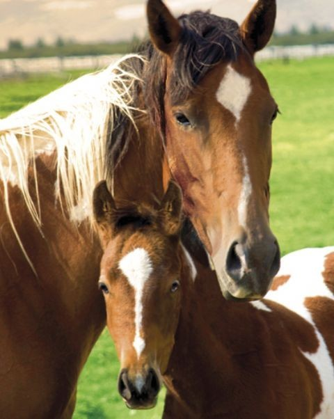 Horses - mare & foal Affiche