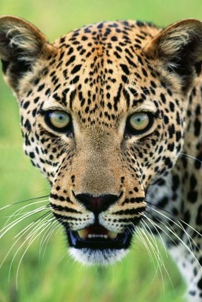 Jaguar Affiche