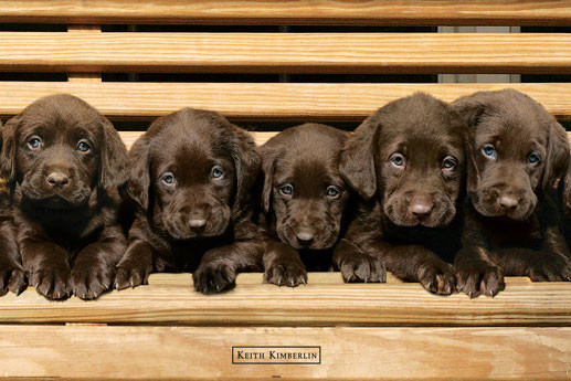 Keith Kimberlin - chocolate labradors Affiche