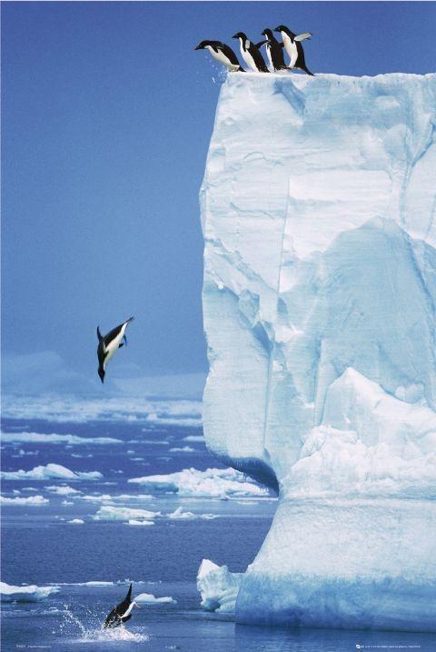 Penguins - steve bloom Affiche
