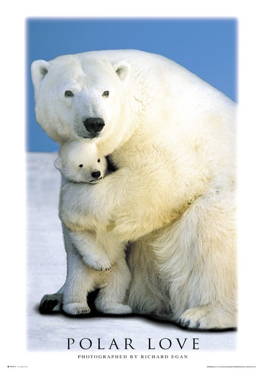 Polar love – bears Affiche