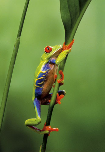 Red eyed three frog Affiche