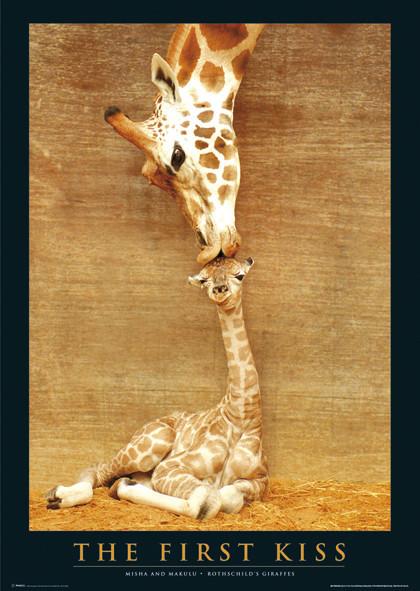 The first kiss - giraffes Affiche