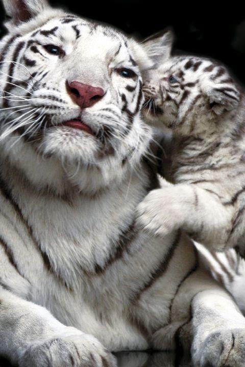 Tiger kiss Affiche