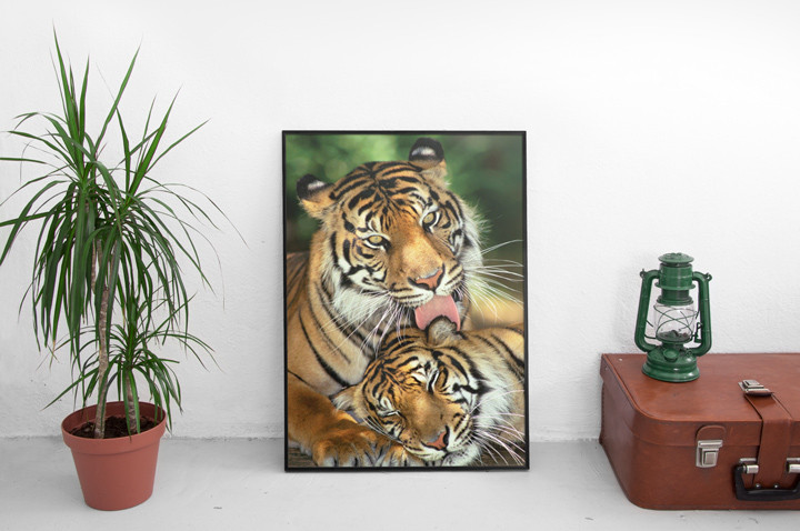 Tigers - mother's love Affiche