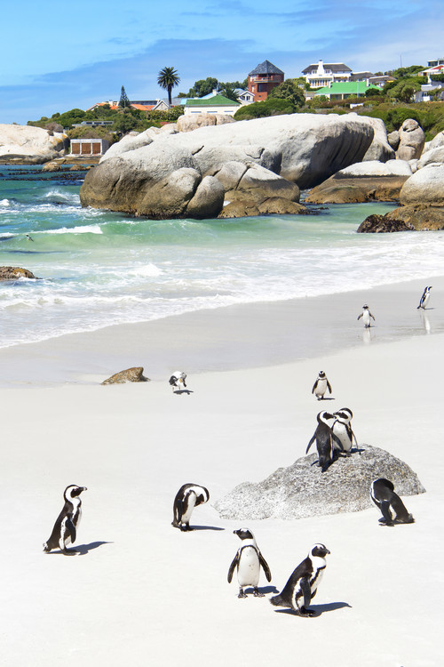 Art Photography African Penguins at Boulders Beach