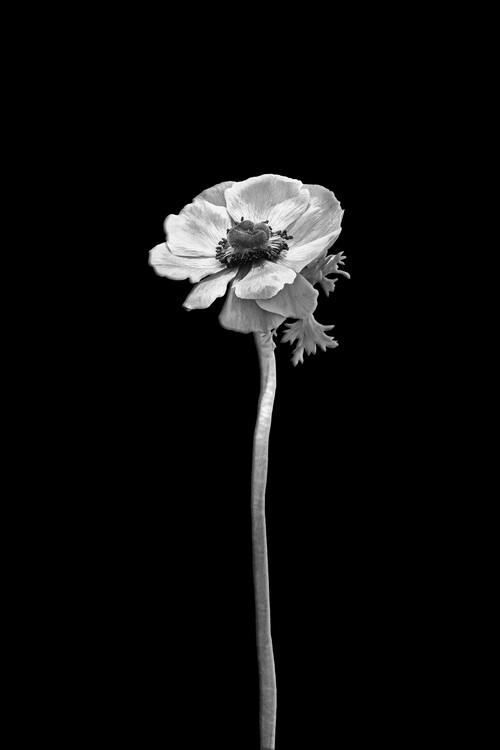 Taide valokuvaus Anemone coronaria | dark design