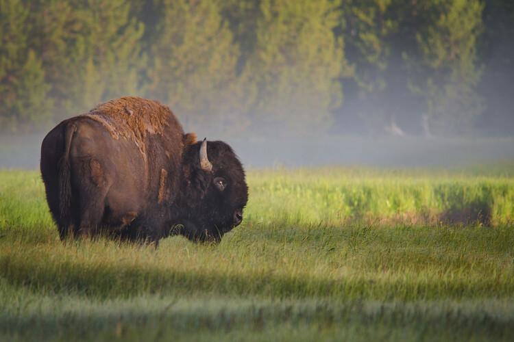 Art Photography Bison in Morning Light