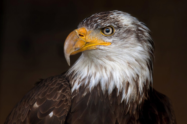 Art Photography Caged Eagle
