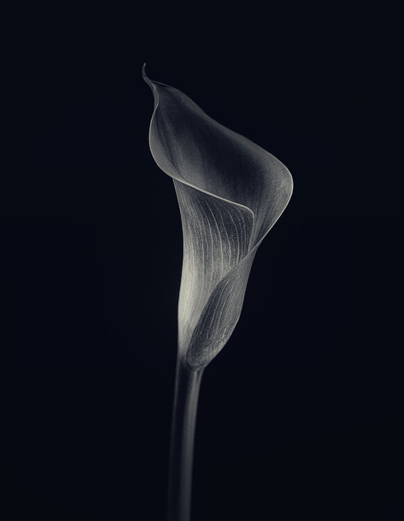 Art Photography Calla lily