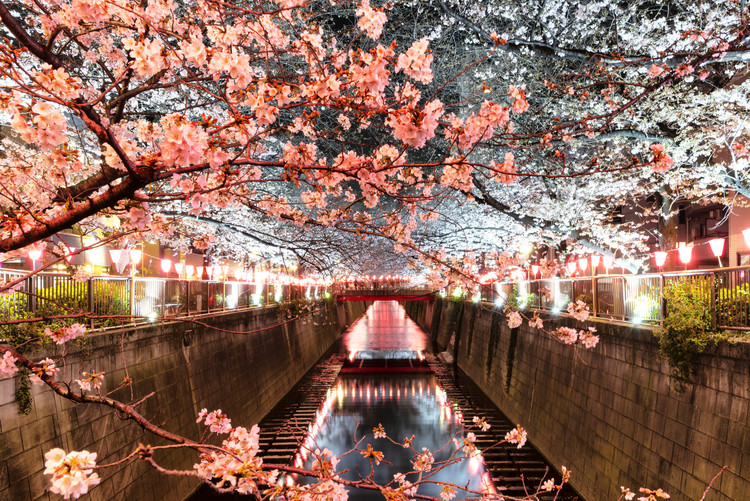 Taide valokuvaus Cherry Blossom at Meguro River