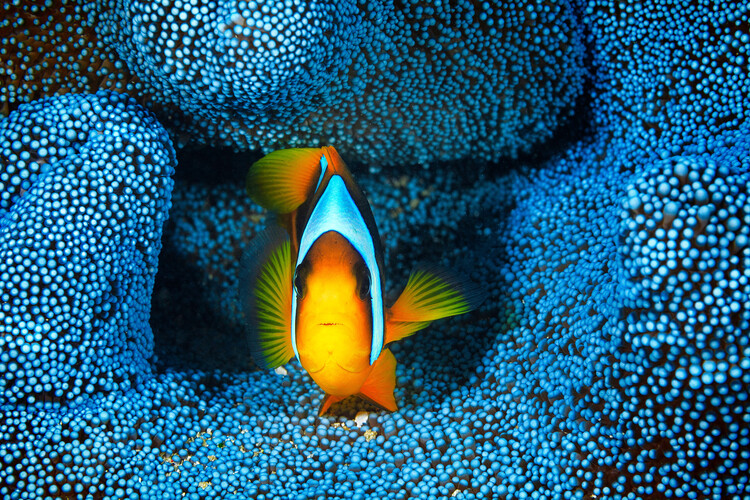 Art Photography Clownfish in blue anA©mon