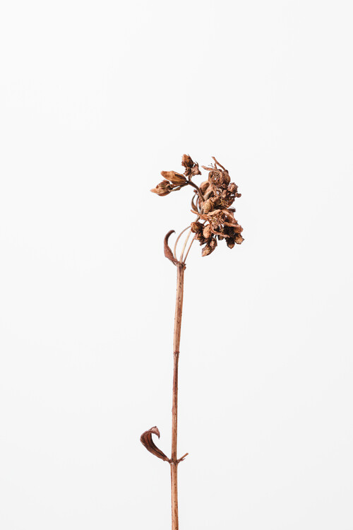 Taide valokuvaus Dried brown plant 2