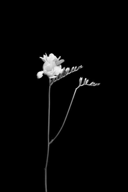Taide valokuvaus Freesia | dark design
