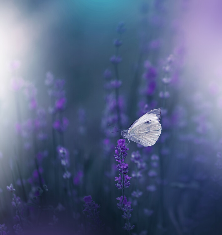 Art Photography Lavender Queen