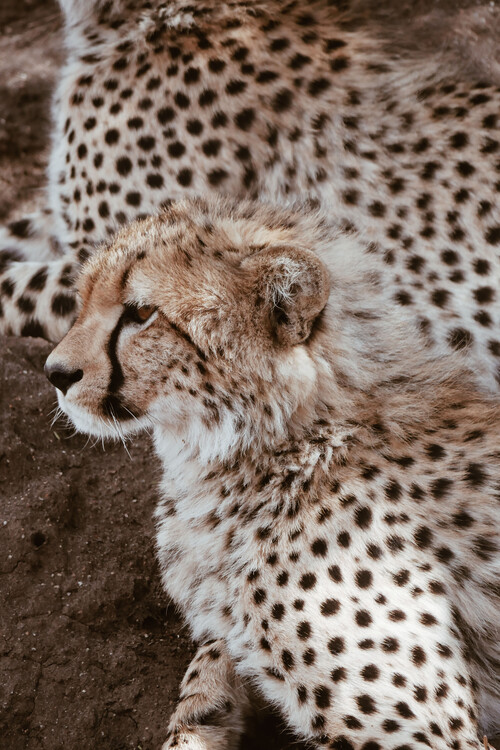 Art Photography Leopard family