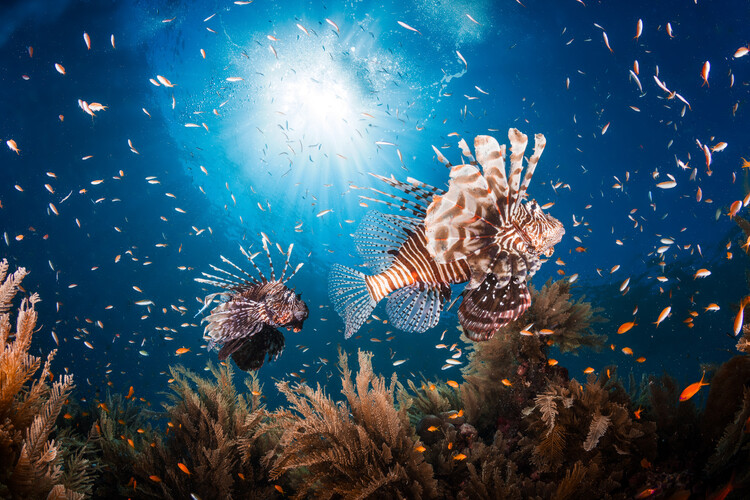Art Photography Lionfish