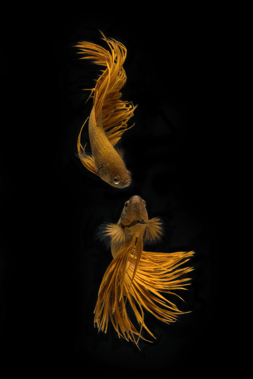 Art Photography Love Story of the Golden Fish
