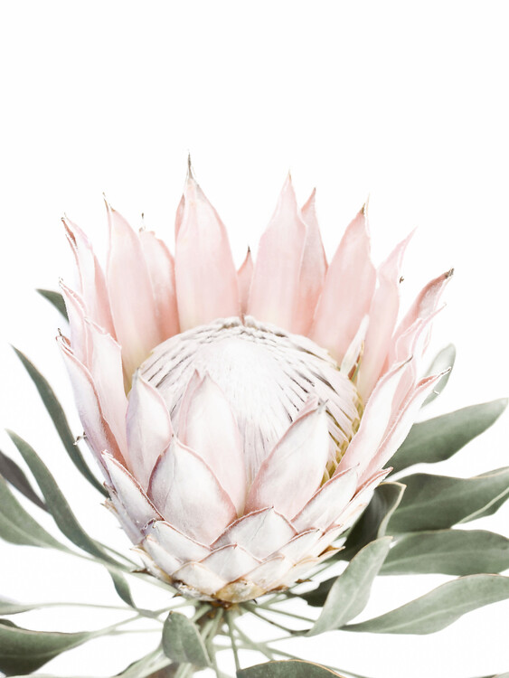 Taide valokuvaus Pink Protea