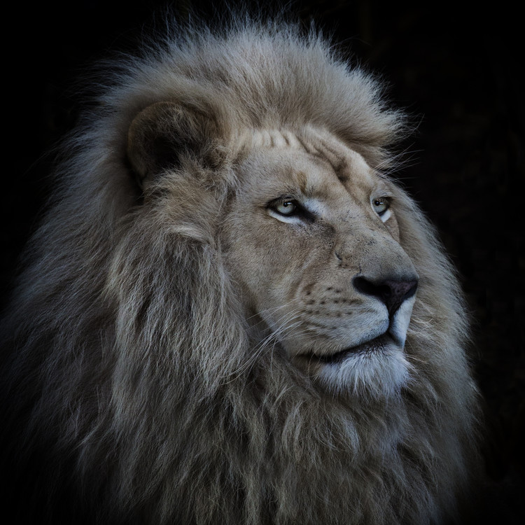 Art Photography Proud Lion
