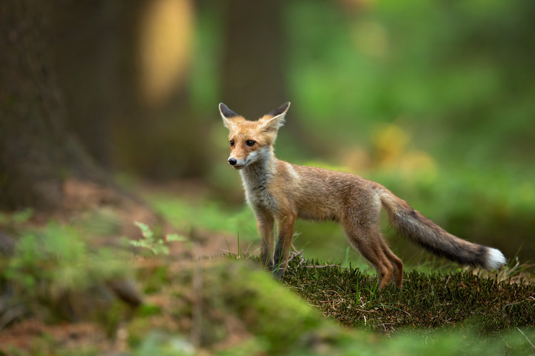 Art Photography Red Fox