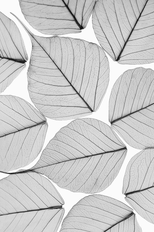 Art Photography Skeleton leaf ii