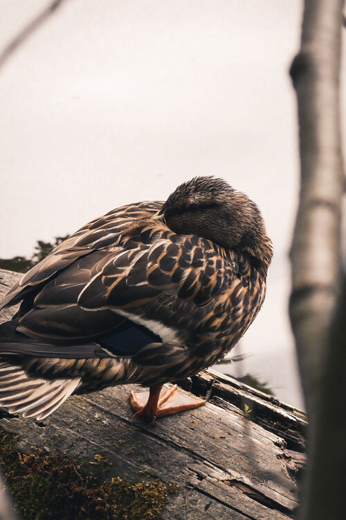 Art Photography Sleeping duck