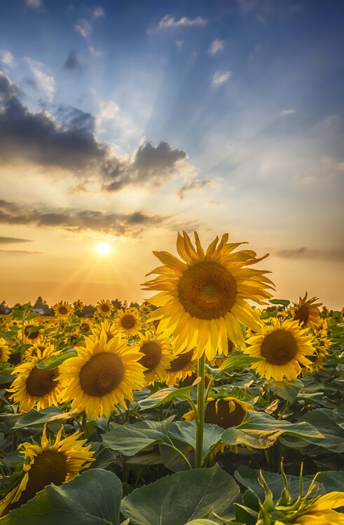 Art Photography Sunset with beautiful sunflowers