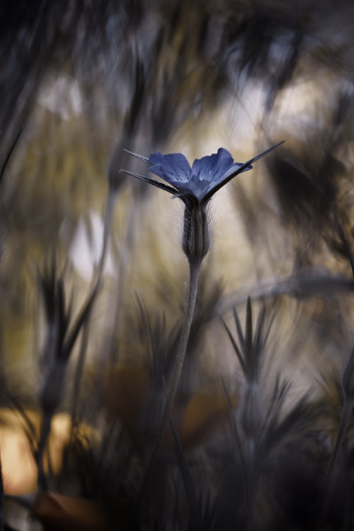 Art Photography The Blue Crown
