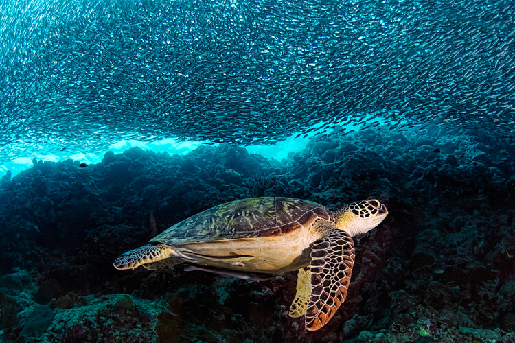 Art Photography Turtle and Sardines