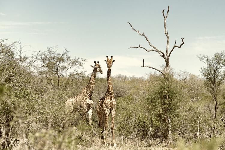 Art Photography Two Giraffes
